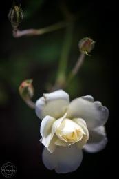 Macro Flower III